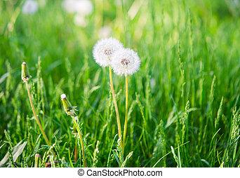 fluffy dandelion in the grass