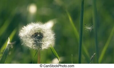 fluffy dandelion in the grass slow-motion video