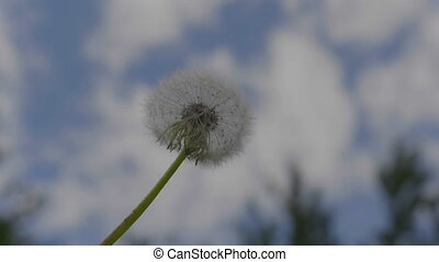 Fluffy dandelion seeds being blown in the wind in the blue...