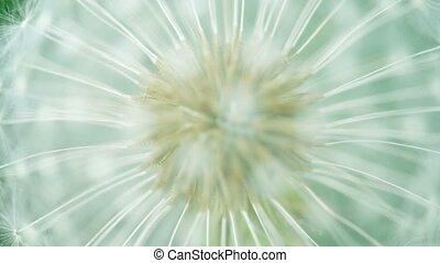 Fluffy dandelion seeds close up