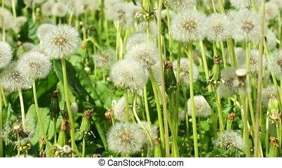 fluffy Dandelions - HD1080: Dandelions in the meadow. dolly...