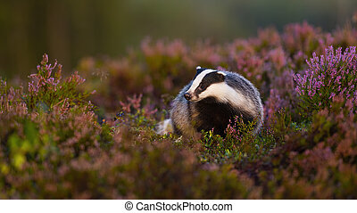 Fluffy european badger, meles meles, approaching from front low angle view in heathland. Appealing wild animal walking in nature at sunrise with blurred background and copy space.