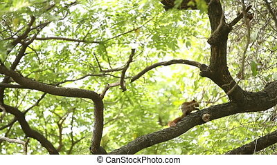 Fluffy ginger squirrel sits on a tree and eats nuts. Lumpini...
