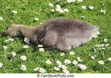 Fluffy Goslings Eating Grass.