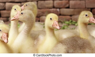 Fluffy Goslings in a Backyard. Adorable Baby Animals