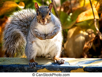 Gray Squirrel - Fluffy Gray Squirrel doing a muscle man...