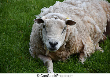 Fluffy Heavy Sheep Resting in a Grass Field