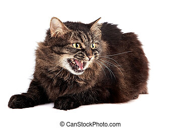 Fluffy hissing cat on a white background