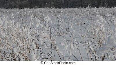 fluffy light snow on dried field plants.