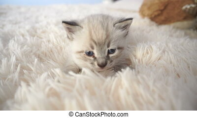 fluffy little kitten on a blanket