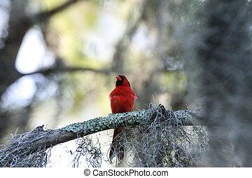 Fluffy Male red Northern cardinal bird Cardinalis cardinalis...