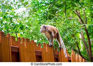 Fluffy monkey goes on a wooden fence in the forest