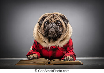 Fluffy pug dog laying on an old book.