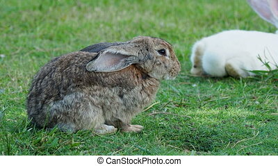 Fluffy rabbit sitting on the green grass and licking its fur