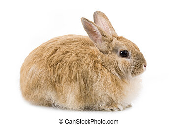 Fluffy rabbit - Image of cautious rabbit over white...