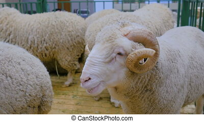 Fluffy ram with horns - Portrait of fluffy ram with horns at...