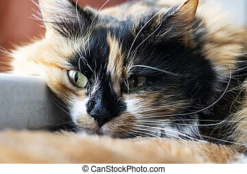 Fluffy red and black cat head, close up portrait