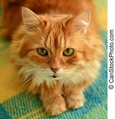 Fluffy red cat.