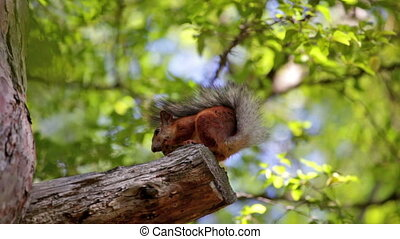 fluffy red squirrel sits on a tree and gnaws a nut