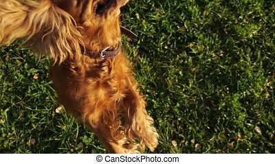 Russian spaniel with ginger fur jumps playing with owner - ...
