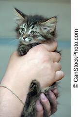 Siberian kitten in the hands - fluffy Siberian kitten in the...