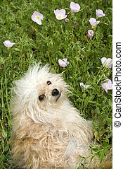 Fluffy small dog in flower field.