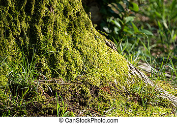 Fluffy soft green moss in the forest.