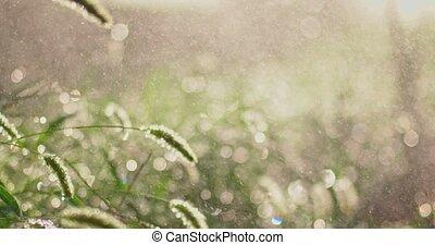 Fluffy spikelet backlit under downpour 4k footage