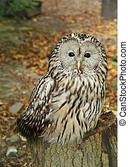 ural owl - fluffy ural owl (Strix uralensis) in autumn