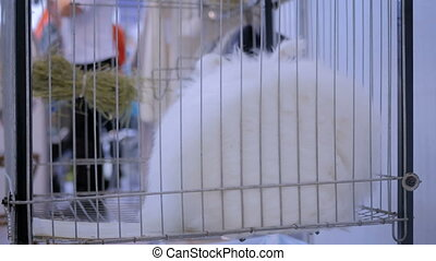 Fluffy white Angora rabbit in the cage at agricultural...