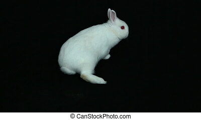 Fluffy white bunny rabbit on black background