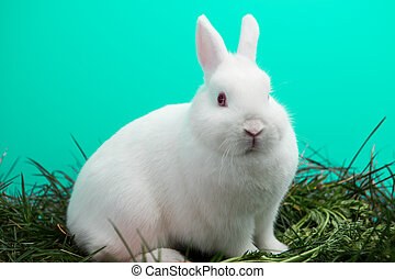 Fluffy white bunny rabbit on the grass