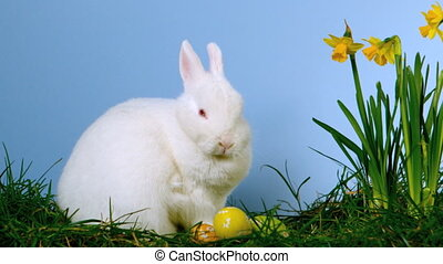 Fluffy white bunny sniffing easter eggs besides daffodils in...