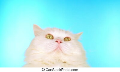Fluffy white cat on blue background in studio. Adorable cute...