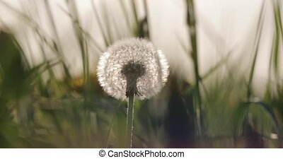 fluffy white dandelion in the summer in the yard.