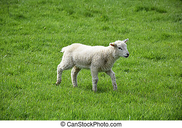 Fluffy White Lamb in a Grass Field on a Farm