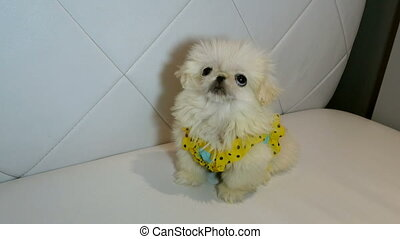 Fluffy white Pekingese dog looks around waiting for a treat or affection.