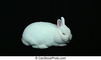 Fluffy white rabbit on black background