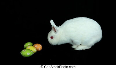 Fluffy white rabbit sniffing easter eggs on black background