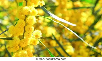 Fluffy yellow mimosa balls swaying in the wind