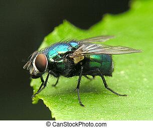 fluga, metalic, grön