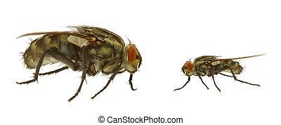fluga, varianten, två