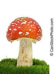 flugsvamp, (amanita, muscaria), growning, på, den, mossa