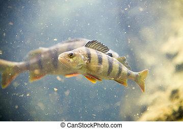 fluviatilis, pez, agua, percha, solo, perca