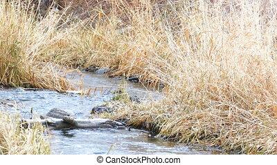 fluxs, forêt automne, canard, petit, rivière, natation