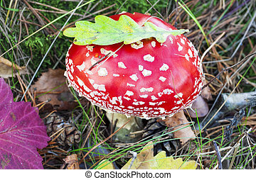 Fly agaric at forest in moss