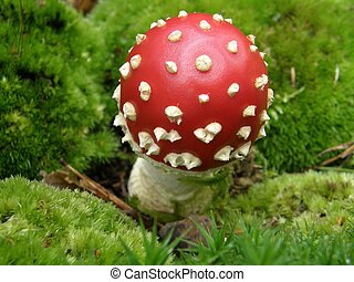 Fly agaric in moss