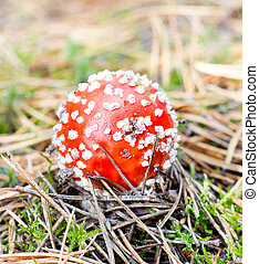 Fly-agaric in the forest