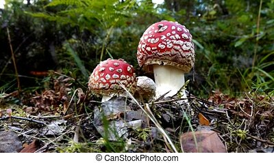 Fly agaric mushroom in swedish forest