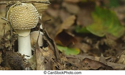 Fly agaric mushroom with a white hat in white spots. 4k,...